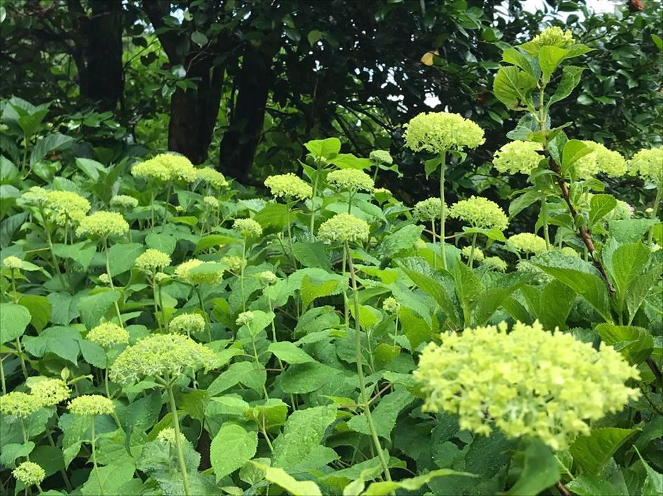 あじさいの開花状況は3分咲きとなっております。