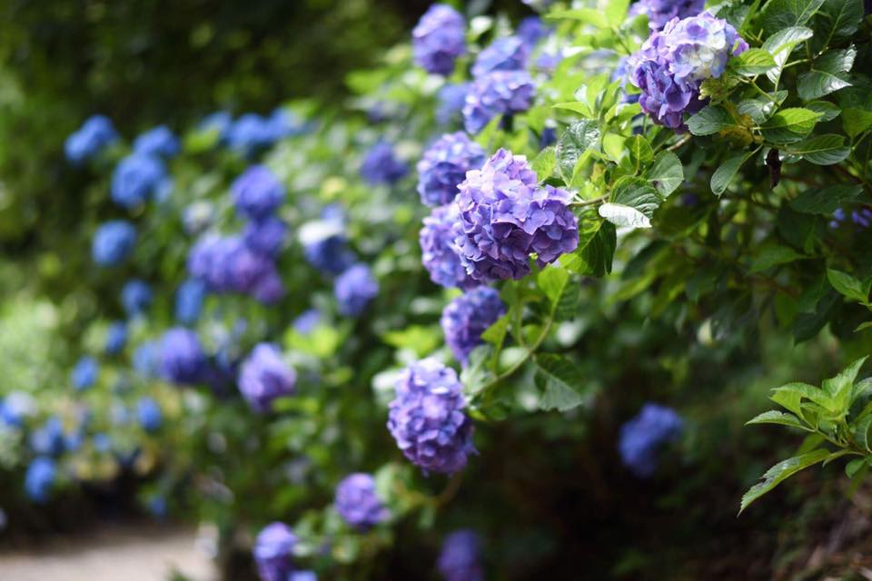 7/23(日)をもって2017年度の南沢あじさい山開花シーズン終了いたしました。沢山のご来山、誠に有難うございました。
